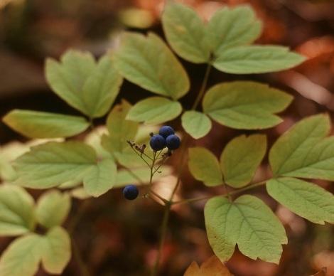 008-blue-cohosh